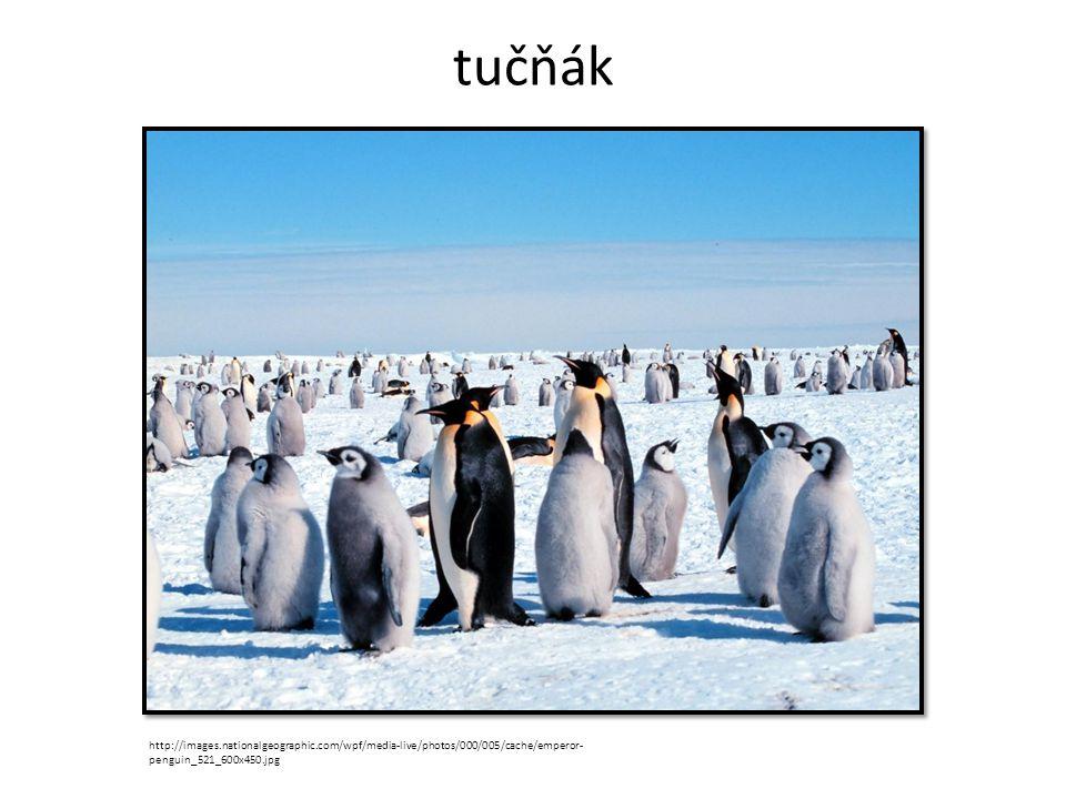 tučňák http://images.nationalgeographic.com/wpf/media-live/photos/000/005/cache/emperor- penguin_521_600x450.jpg