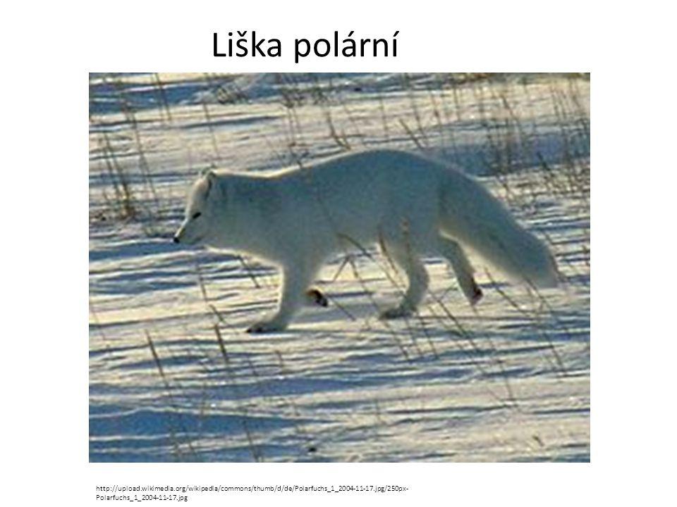 Liška polární http://upload.wikimedia.org/wikipedia/commons/thumb/d/de/Polarfuchs_1_2004-11-17.jpg/250px- Polarfuchs_1_2004-11-17.jpg