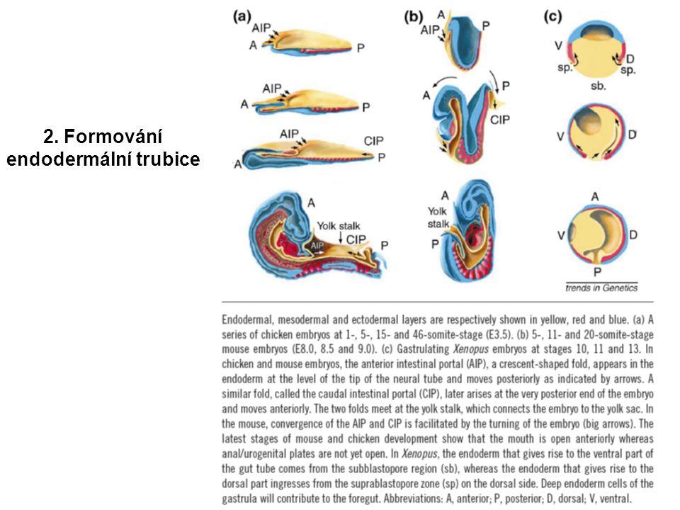 2. Formování endodermální trubice