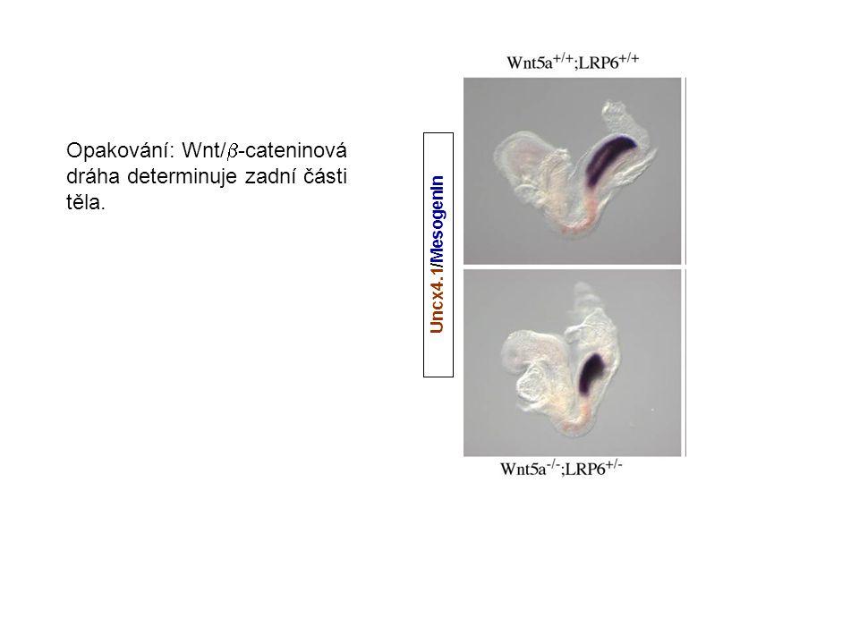 Uncx4.1/Mesogenin Opakování: Wnt/  -cateninová dráha determinuje zadní části těla.