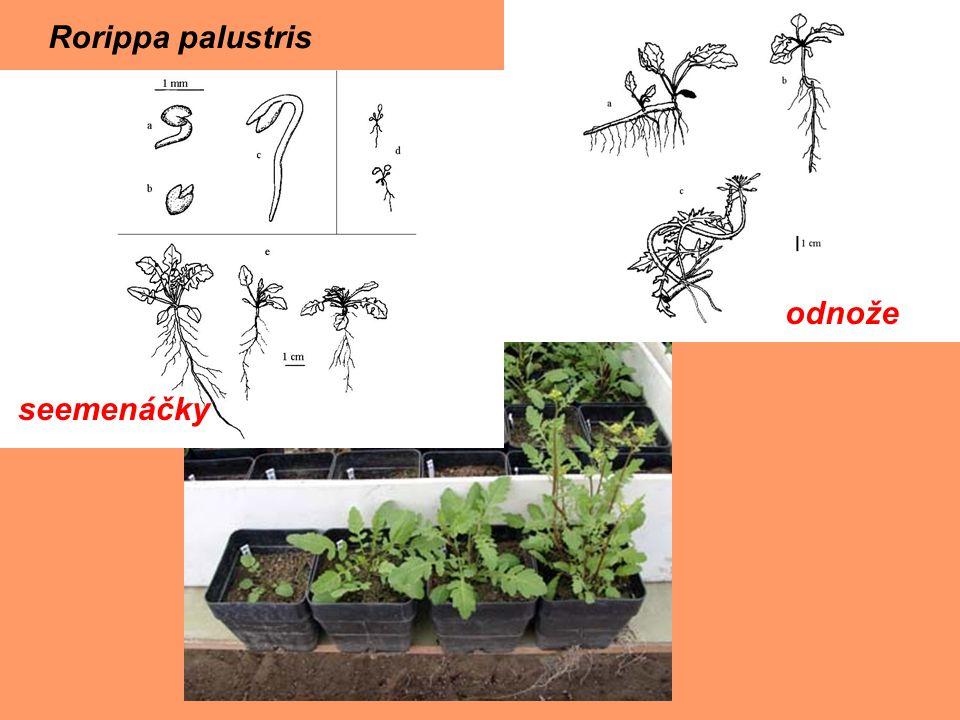 seemenáčky odnože Rorippa palustris