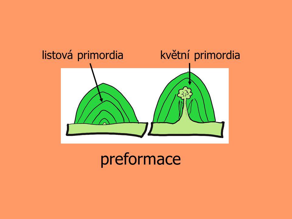 preformace listová primordia květní primordia
