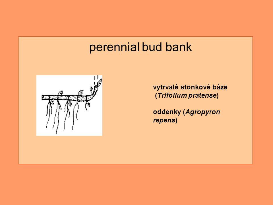 vytrvalé stonkové báze (Trifolium pratense) oddenky (Agropyron repens) perennial bud bank