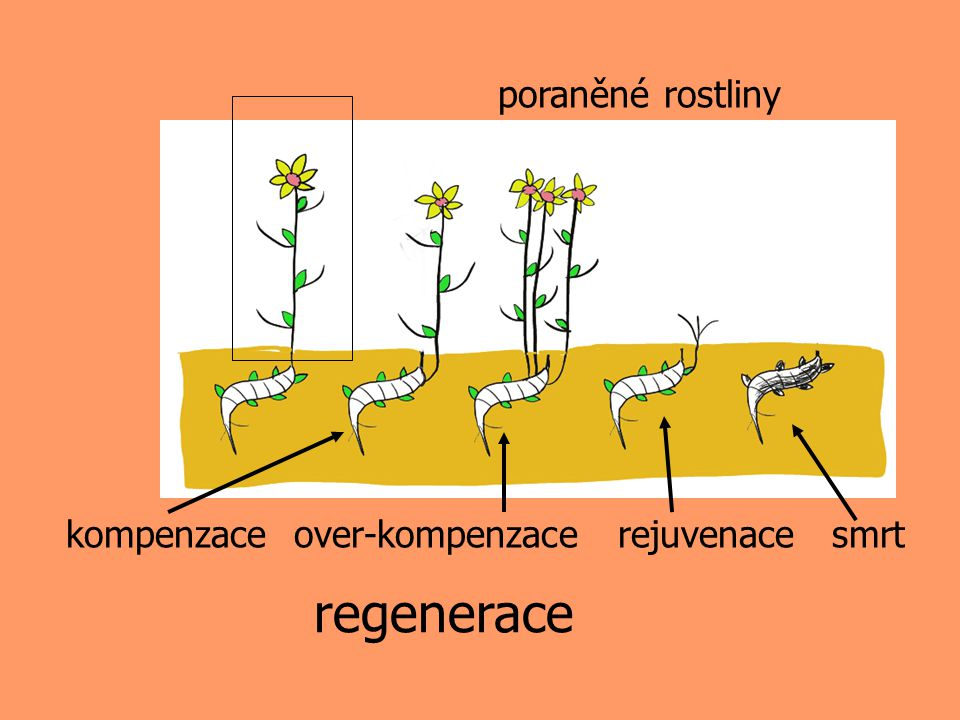 regenerace poraněné rostliny kompenzace over-kompenzace rejuvenace smrt