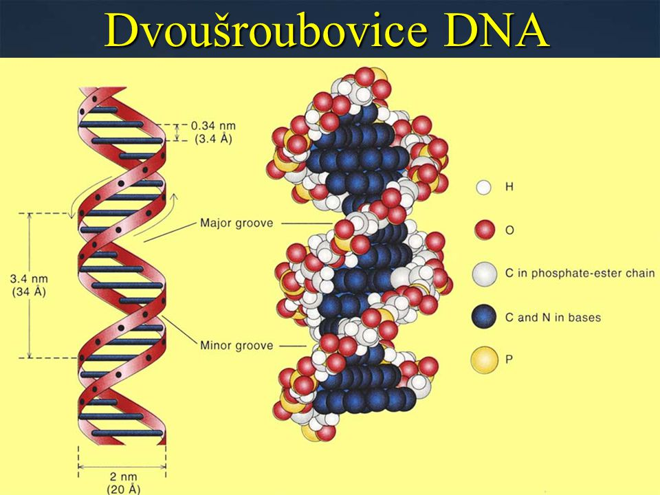Dvoušroubovice DNA