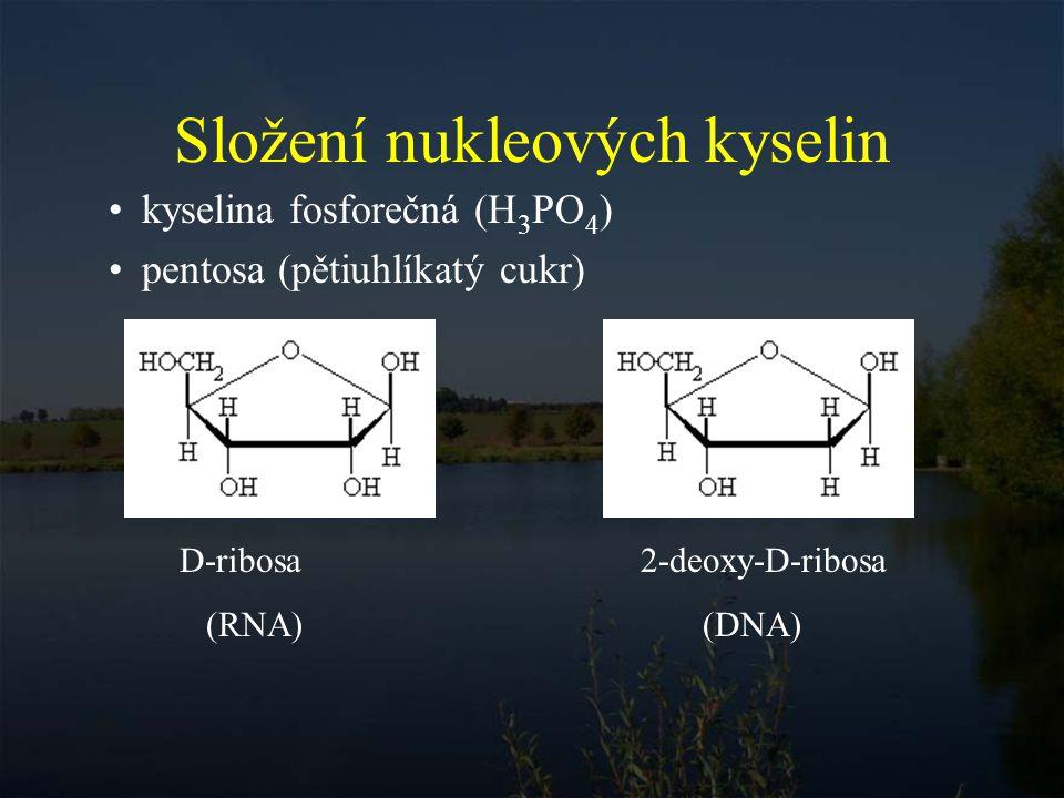 heterocyklické base (nukleobase) - pyrimidinové base pyrimidin uracil thymin cytosin (RNA) (DNA) purin adenin guanin - purinové base