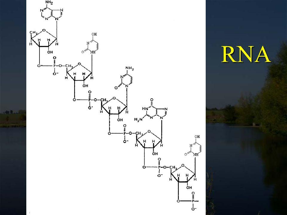 Malé jaderné RNA Small nuclear RNAs (snRNAs) součástí buněčné struktury (spliceosome) pro produkci mRNA odstraní nekodující oblasti (introny) genů a složí dohromady kodující regiony (exony) do mRNA sekvence kodující proteiny některé snRNA přitom v těchto reakcích vykazují znaky funkčního enzymu