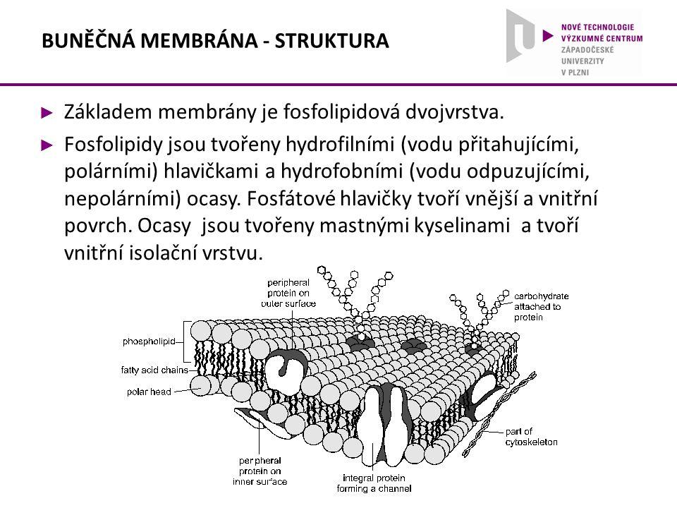 BUNĚČNÁ MEMBRÁNA - STRUKTURA ► Základem membrány je fosfolipidová dvojvrstva. ► Fosfolipidy jsou tvořeny hydrofilními (vodu přitahujícími, polárními)