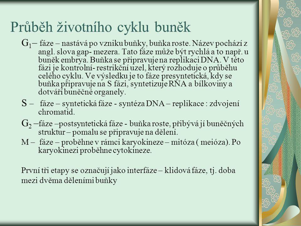 Regulace životního cyklu buněk Všechny fáze jsou řízeny chemickými látkami, které mohou fáze urychlovat - stimulátory nebo je zastavovat – inhibitory.