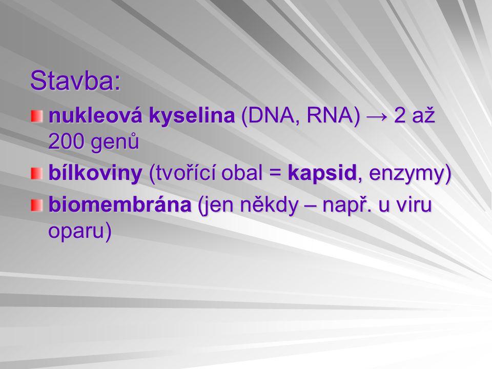 Stavba: nukleová kyselina (DNA, RNA) → 2 až 200 genů bílkoviny (tvořící obal = kapsid, enzymy) biomembrána (jen někdy – např. u viru oparu)