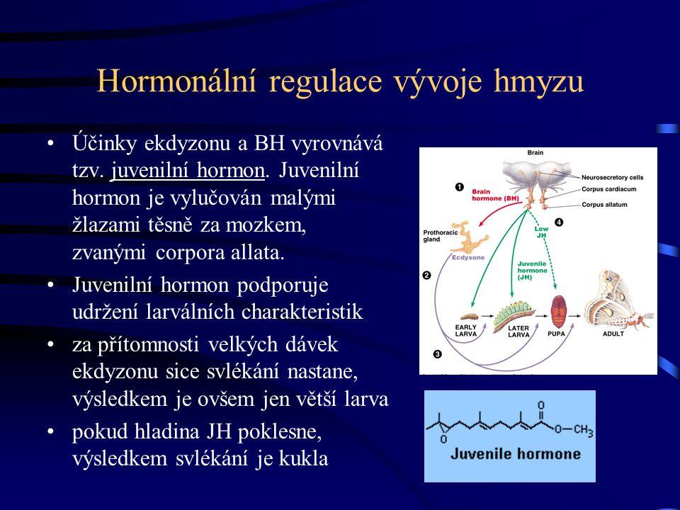 Hormonální regulace vývoje hmyzu Účinky ekdyzonu a BH vyrovnává tzv. juvenilní hormon. Juvenilní hormon je vylučován malými žlazami těsně za mozkem, z