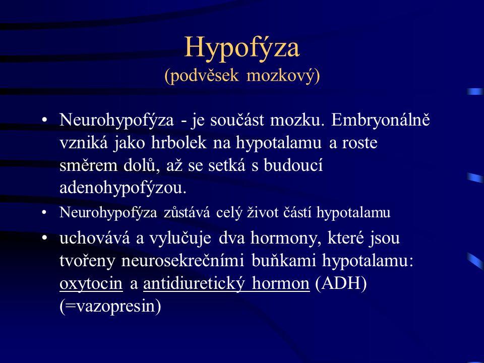 Hypofýza (podvěsek mozkový) Neurohypofýza - je součást mozku. Embryonálně vzniká jako hrbolek na hypotalamu a roste směrem dolů, až se setká s budoucí