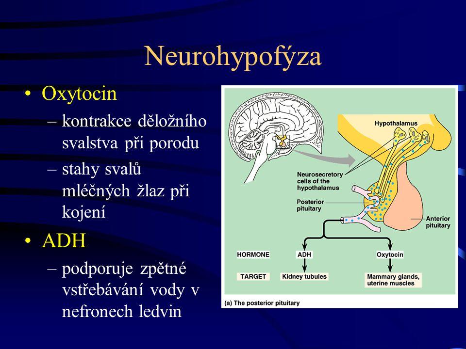 Neurohypofýza Oxytocin –kontrakce děložního svalstva při porodu –stahy svalů mléčných žlaz při kojení ADH –podporuje zpětné vstřebávání vody v nefrone