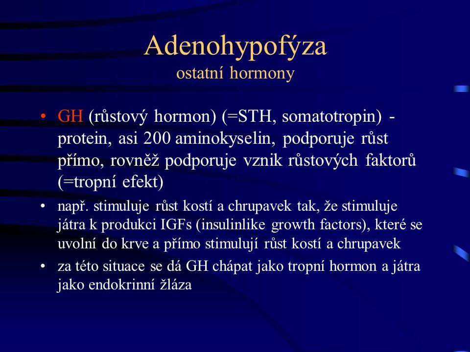 Adenohypofýza ostatní hormony GH (růstový hormon) (=STH, somatotropin) - protein, asi 200 aminokyselin, podporuje růst přímo, rovněž podporuje vznik r
