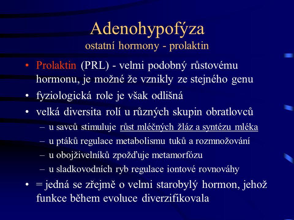 Adenohypofýza ostatní hormony - prolaktin Prolaktin (PRL) - velmi podobný růstovému hormonu, je možné že vznikly ze stejného genu fyziologická role je