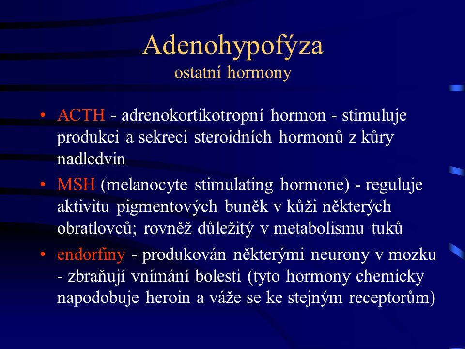 Adenohypofýza ostatní hormony ACTH - adrenokortikotropní hormon - stimuluje produkci a sekreci steroidních hormonů z kůry nadledvin MSH (melanocyte st