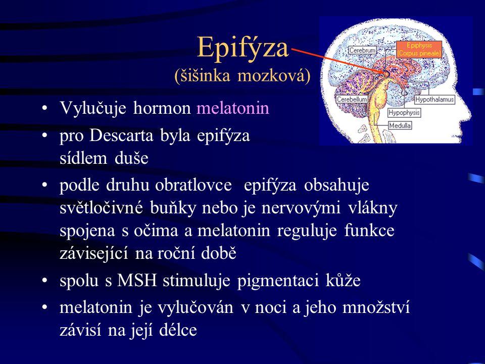 Epifýza (šišinka mozková) Vylučuje hormon melatonin pro Descarta byla epifýza sídlem duše podle druhu obratlovce epifýza obsahuje světločivné buňky ne