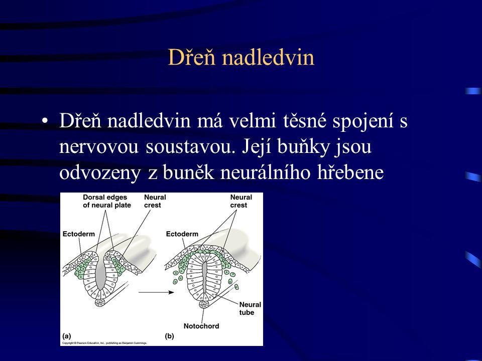Dřeň nadledvin Dřeň nadledvin má velmi těsné spojení s nervovou soustavou. Její buňky jsou odvozeny z buněk neurálního hřebene