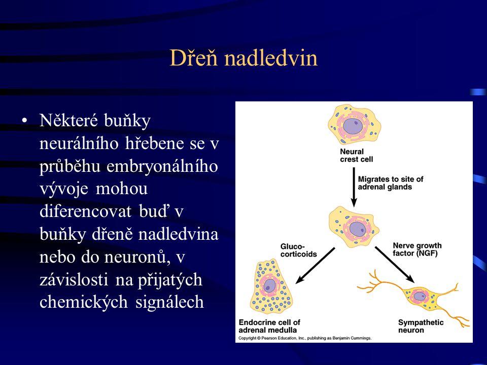 Dřeň nadledvin Některé buňky neurálního hřebene se v průběhu embryonálního vývoje mohou diferencovat buď v buňky dřeně nadledvina nebo do neuronů, v z