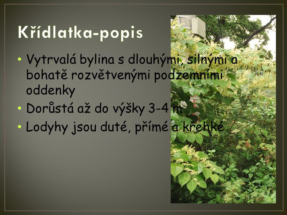 Vytrvalá bylina s dlouhými, silnými a bohatě rozvětvenými podzemními oddenky Dorůstá až do výšky 3-4 m Lodyhy jsou duté, přímé a křehké