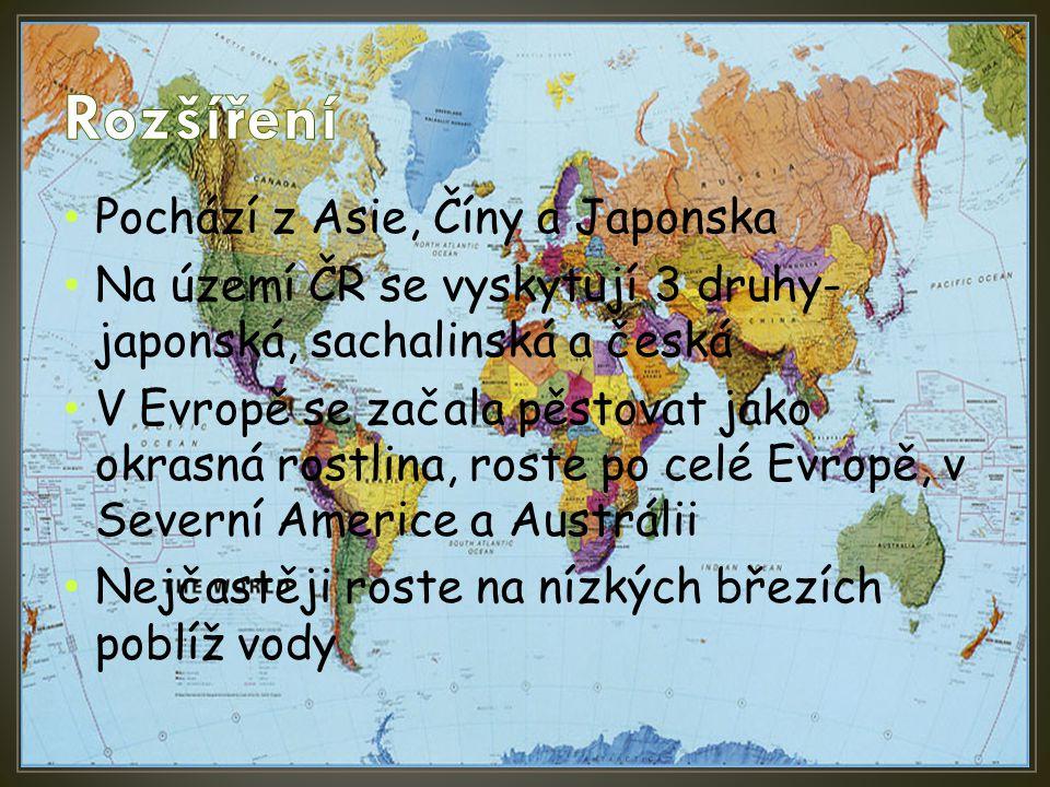 Pochází z Asie, Číny a Japonska Na území ČR se vyskytují 3 druhy- japonská, sachalinská a česká V Evropě se začala pěstovat jako okrasná rostlina, ros