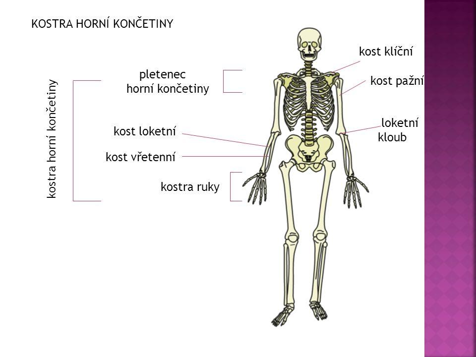 loketní kloub kost klíční pletenec horní končetiny kostra ruky kost loketní kost vřetenní kost pažní kostra horní končetiny KOSTRA HORNÍ KONČETINY