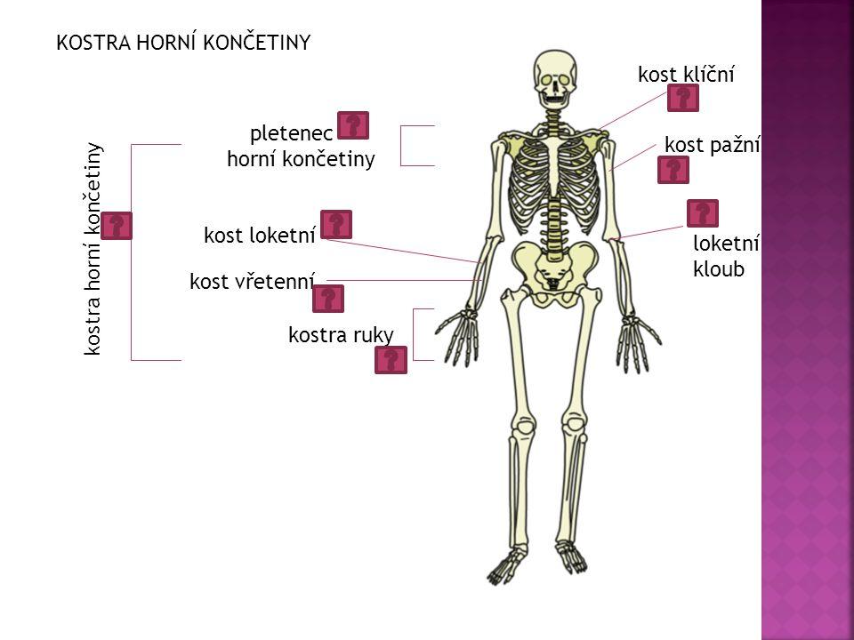 loketní kloub pletenec horní končetiny kostra ruky kost loketní kost vřetenní kost pažní kostra horní končetiny KOSTRA HORNÍ KONČETINY kost klíční