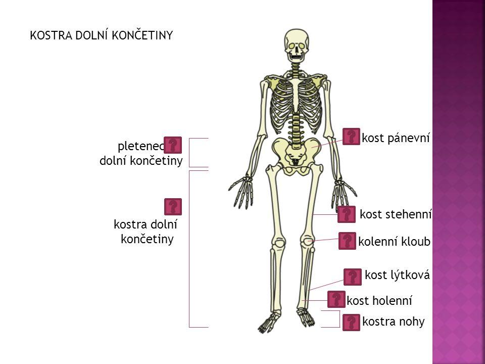 kost pánevní kolenní kloub kost stehenní kost holenní kost lýtková pletenec dolní končetiny kostra nohy kostra dolní končetiny KOSTRA DOLNÍ KONČETINY