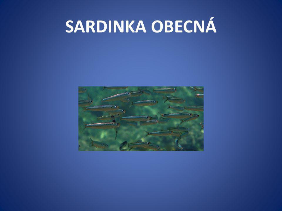 SARDINKA OBECNÁ