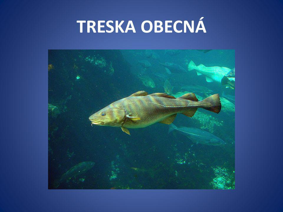TRESKA OBECNÁ