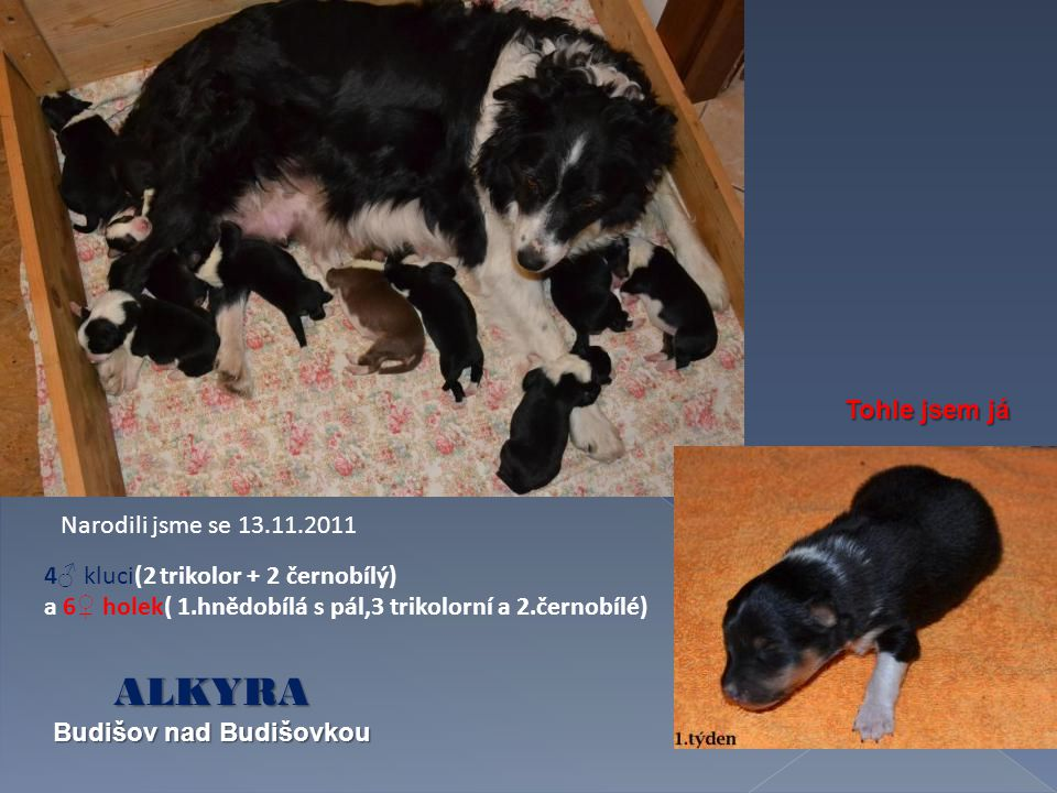 Narodili jsme se 13.11.2011 4 ♂ kluci(2 trikolor + 2 černobílý) a 6 ♀ holek( 1.hnědobílá s pál,3 trikolorní a 2.černobílé) Tohle jsem já ALKYRA Budišov nad Budišovkou