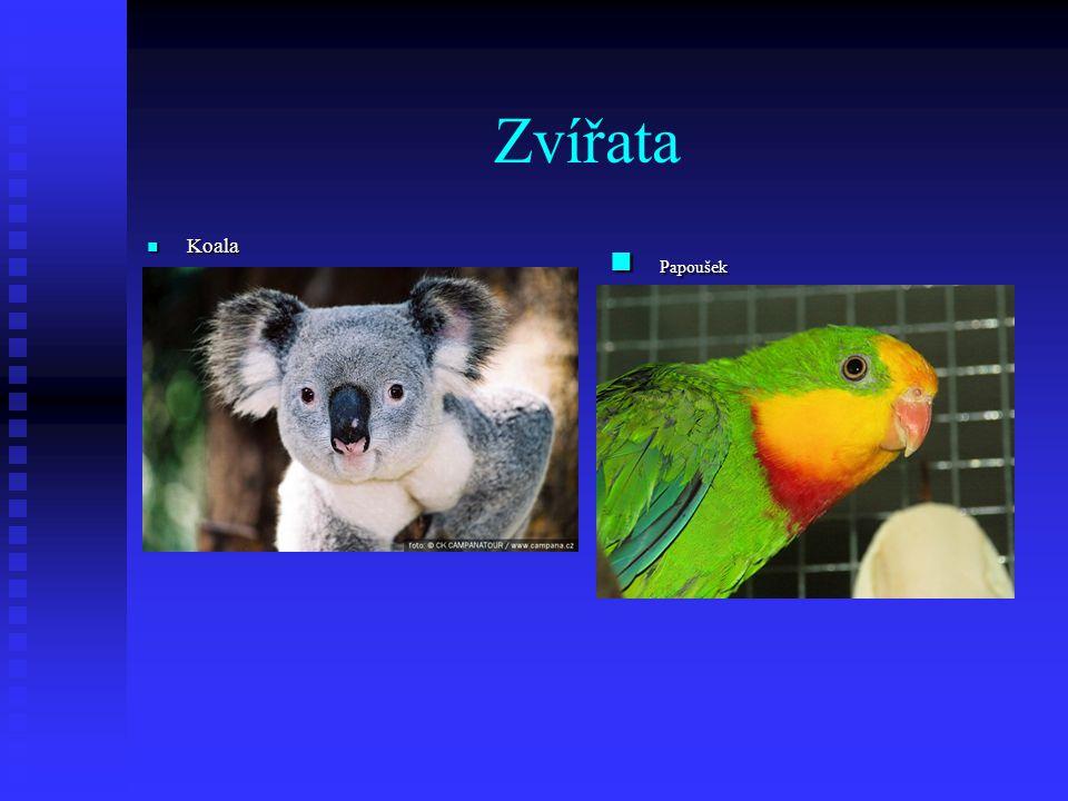 Zvířata Koala Koala Papoušek