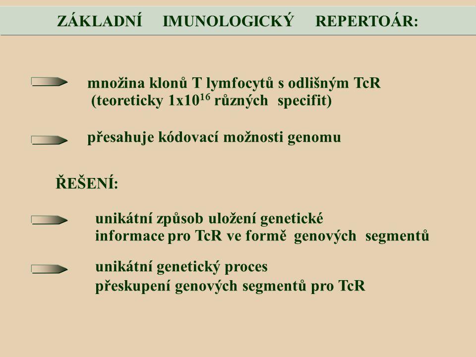 množina klonů T lymfocytů s odlišným TcR (teoreticky 1x10 16 různých specifit) přesahuje kódovací možnosti genomu ŘEŠENÍ: unikátní způsob uložení genetické informace pro TcR ve formě genových segmentů unikátní genetický proces přeskupení genových segmentů pro TcR ZÁKLADNÍ IMUNOLOGICKÝ REPERTOÁR: