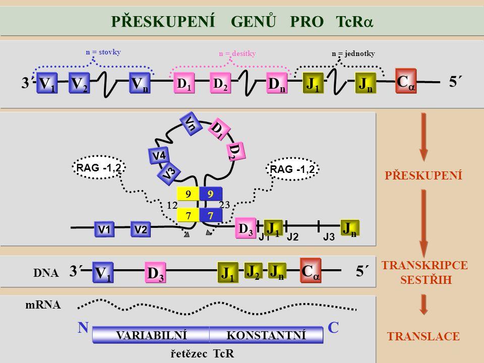 PŘESKUPENÍ GENŮ PRO TcR  PŘESKUPENÍ 5´ 3´ V1V1 V2V2 VnVn D1D1 D2D2 DnDn J1J1 JnJn CC n = stovky n = desítkyn = jednotky 5´3´ V1V1 D3D3 J1J1 CC DNA TRANSKRIPCE SESTŘIH TRANSLACE mRNA VARIABILNÍKONSTANTNÍ NC řetězec TcR   V3 J1  J2 RAG -1,2 J3 RAG -1,2 V4 Vn V1 V2   D1D1 D2D2 D3D3 J1J1 JnJn J2J2 JnJn