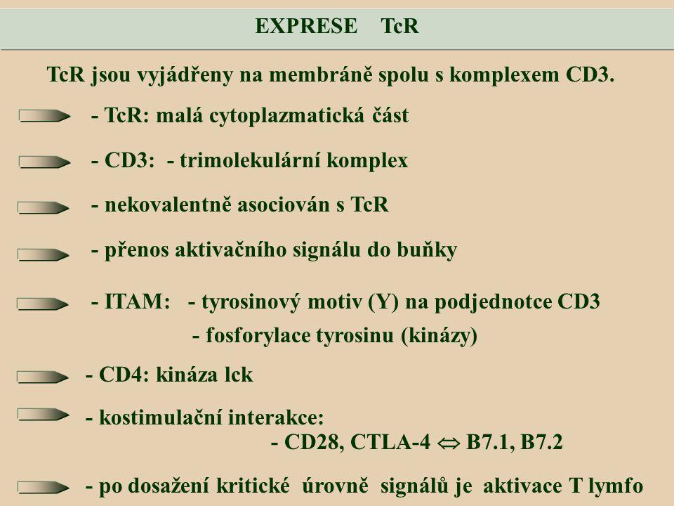 TcR jsou vyjádřeny na membráně spolu s komplexem CD3.