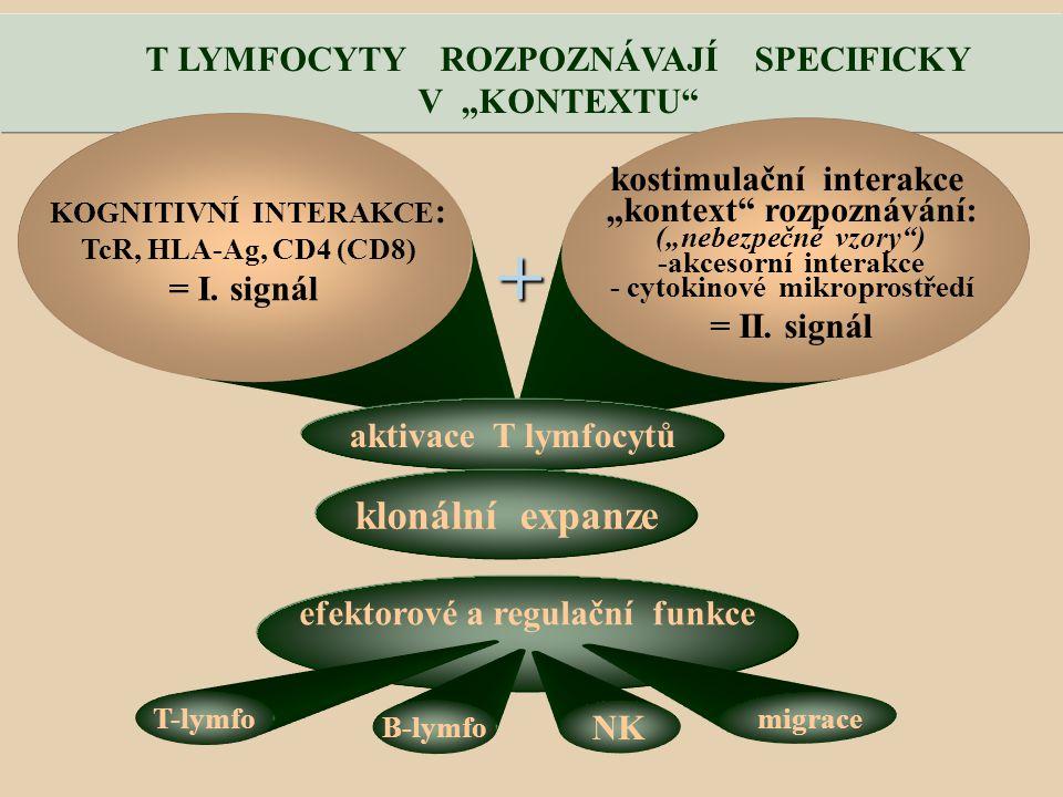 """T LYMFOCYTY ROZPOZNÁVAJÍ SPECIFICKY V """"KONTEXTU KOGNITIVNÍ INTERAKCE : TcR, HLA-Ag, CD4 (CD8) = I."""