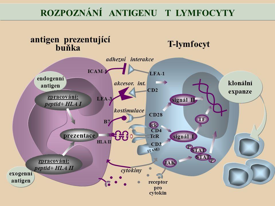 ROZPOZNÁNÍ ANTIGENU T LYMFOCYTY exogenní antigen endogenní antigen zpracování: peptid+ HLA I zpracování: peptid+ HLA II antigen prezentující buňka T-lymfocyt adhezní interakce ICAM-1 LFA-1 akcesor.