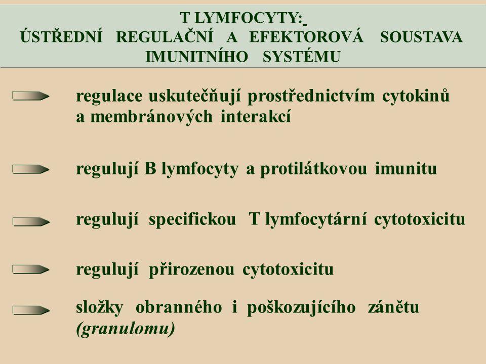 regulace uskutečňují prostřednictvím cytokinů a membránových interakcí regulují B lymfocyty a protilátkovou imunitu regulují specifickou T lymfocytární cytotoxicitu regulují přirozenou cytotoxicitu složky obranného i poškozujícího zánětu (granulomu) T LYMFOCYTY: ÚSTŘEDNÍ REGULAČNÍ A EFEKTOROVÁ SOUSTAVA IMUNITNÍHO SYSTÉMU