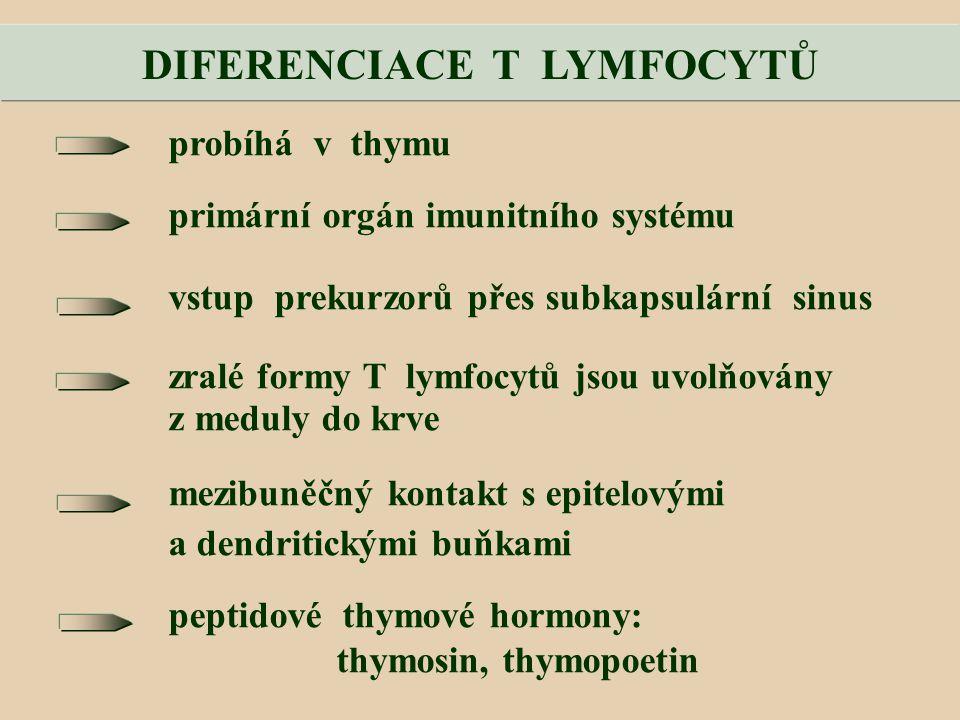 probíhá v thymu primární orgán imunitního systému vstup prekurzorů přes subkapsulární sinus zralé formy T lymfocytů jsou uvolňovány z meduly do krve mezibuněčný kontakt s epitelovými a dendritickými buňkami peptidové thymové hormony: thymosin, thymopoetin DIFERENCIACE T LYMFOCYTŮ
