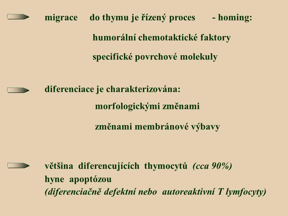 migrace do thymu je řízený proces - homing: humorální chemotaktické faktory specifické povrchové molekuly diferenciace je charakterizována: morfologickými změnami změnami membránové výbavy většina diferencujících thymocytů (cca 90%) hyne apoptózou (diferenciačně defektní nebo autoreaktivní T lymfocyty)