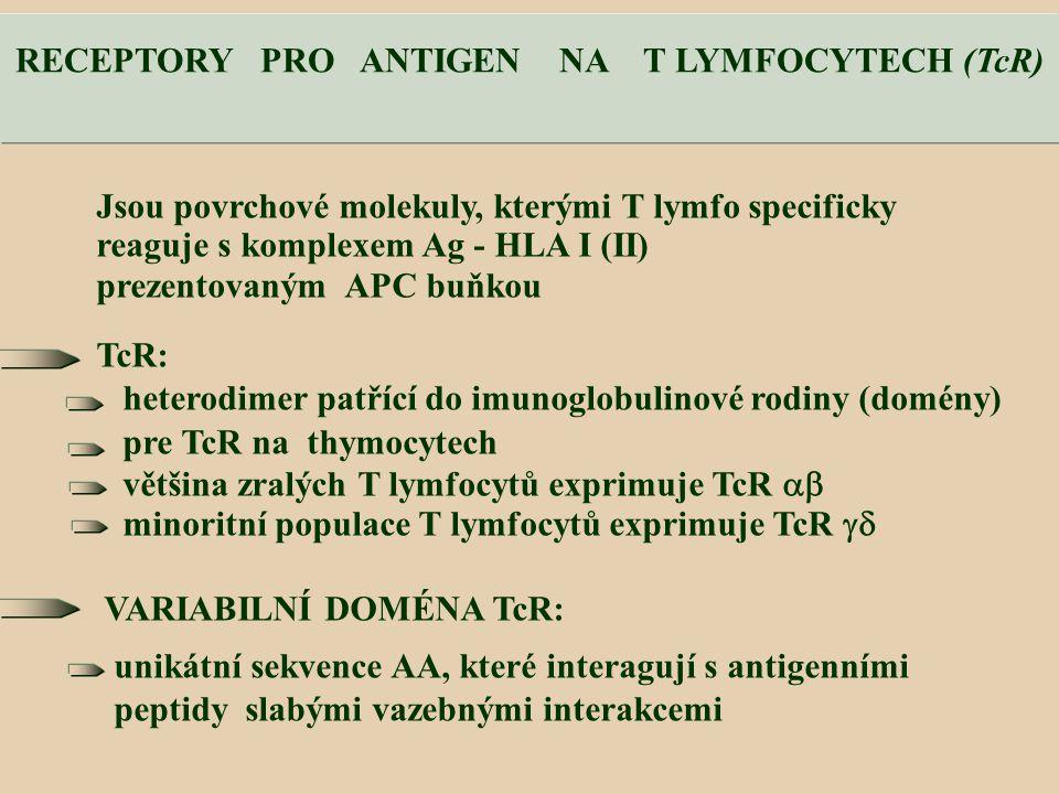 Jsou povrchové molekuly, kterými T lymfo specificky reaguje s komplexem Ag - HLA I (II) prezentovaným APC buňkou TcR: heterodimer patřící do imunoglobulinové rodiny (domény) pre TcR na thymocytech většina zralých T lymfocytů exprimuje TcR  minoritní populace T lymfocytů exprimuje TcR  VARIABILNÍ DOMÉNA TcR: unikátní sekvence AA, které interagují s antigenními peptidy slabými vazebnými interakcemi RECEPTORY PRO ANTIGEN NA T LYMFOCYTECH (TcR)