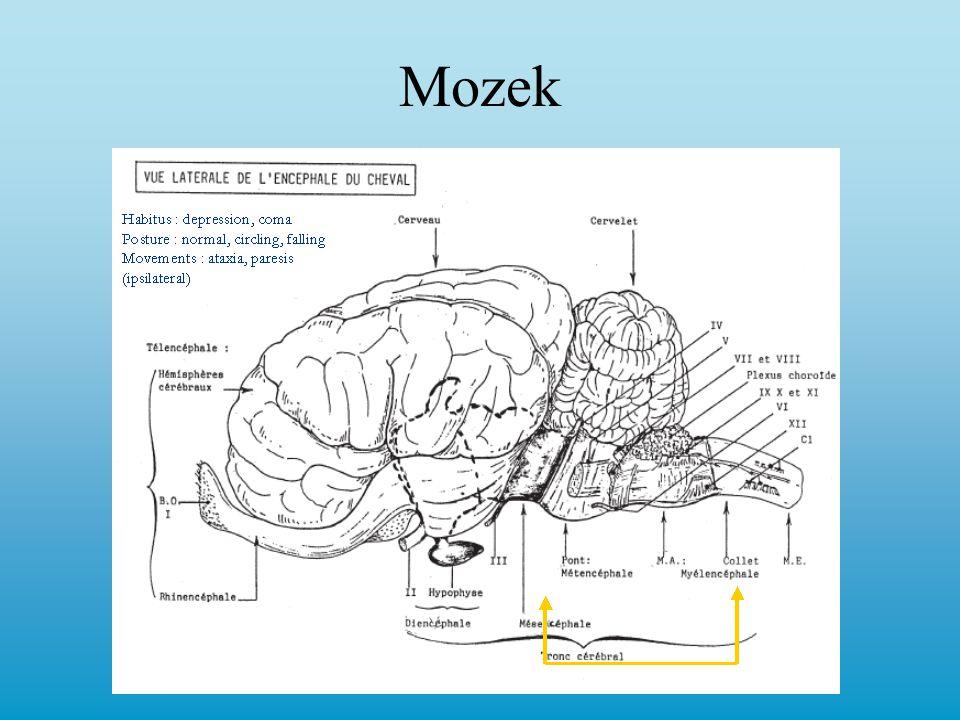 n.trochlearis - motorická inervace okohybných svalů, dorsomediální strabismus n.