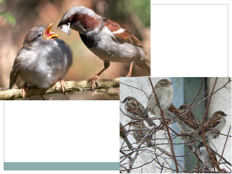 Řád: měkkozobí Potrava: býložravec – semena, obilí, luštěniny, lesní plody; mláďata krmí holubím mlékem Stálý Zajímavosti:  zdomácnělá forma holuba skalního  chovaný pro maso i zábavu  zdivočelí přemnožení holubi škodí ve městech i na polích  žije v hejnech  je výborný letec, má vynikající orientační schopnosti  mláďata se líhnou nevyvinutá, rodiče je krmí holubím mlékem  přes 1000 vyšlechtěných plemen Pohlavní dvojtvárnost: ne Vzhled: