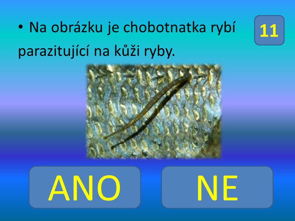 Na obrázku je chobotnatka rybí parazitující na kůži ryby. ANONE 11
