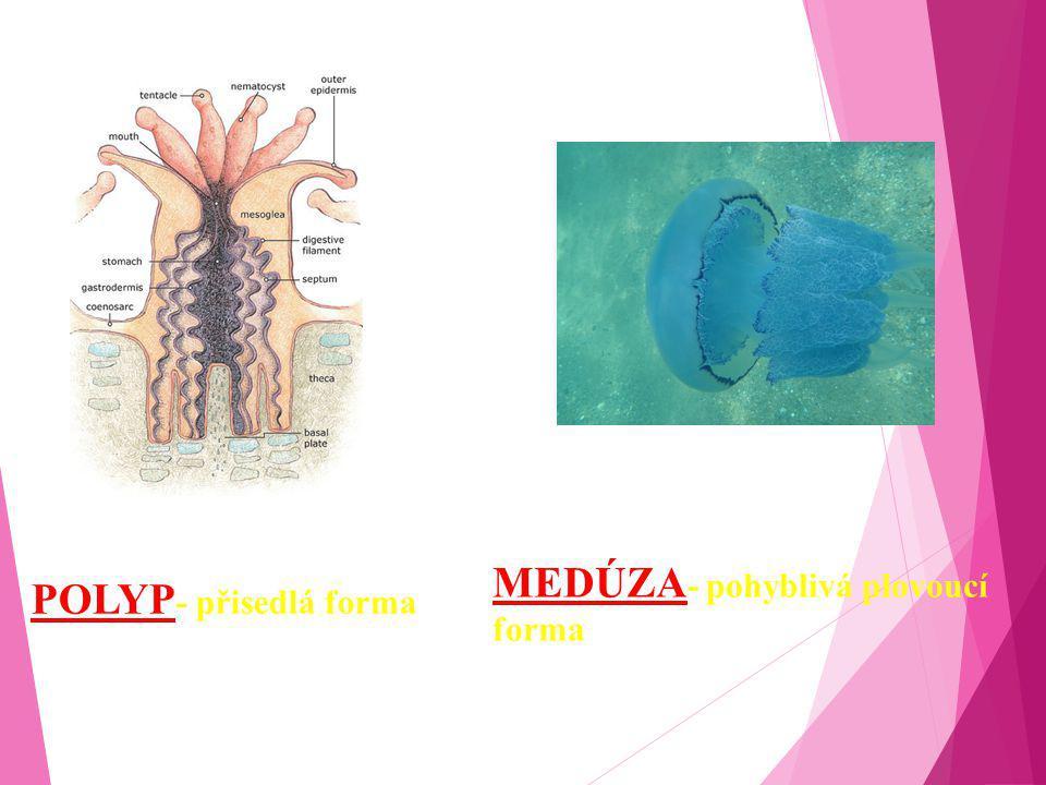 POLYP - přisedlá forma MEDÚZA - pohyblivá plovoucí forma