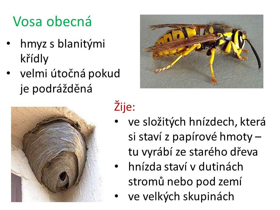 Vosa obecná hmyz s blanitými křídly velmi útočná pokud je podrážděná Žije: ve složitých hnízdech, která si staví z papírové hmoty – tu vyrábí ze starého dřeva hnízda staví v dutinách stromů nebo pod zemí ve velkých skupinách