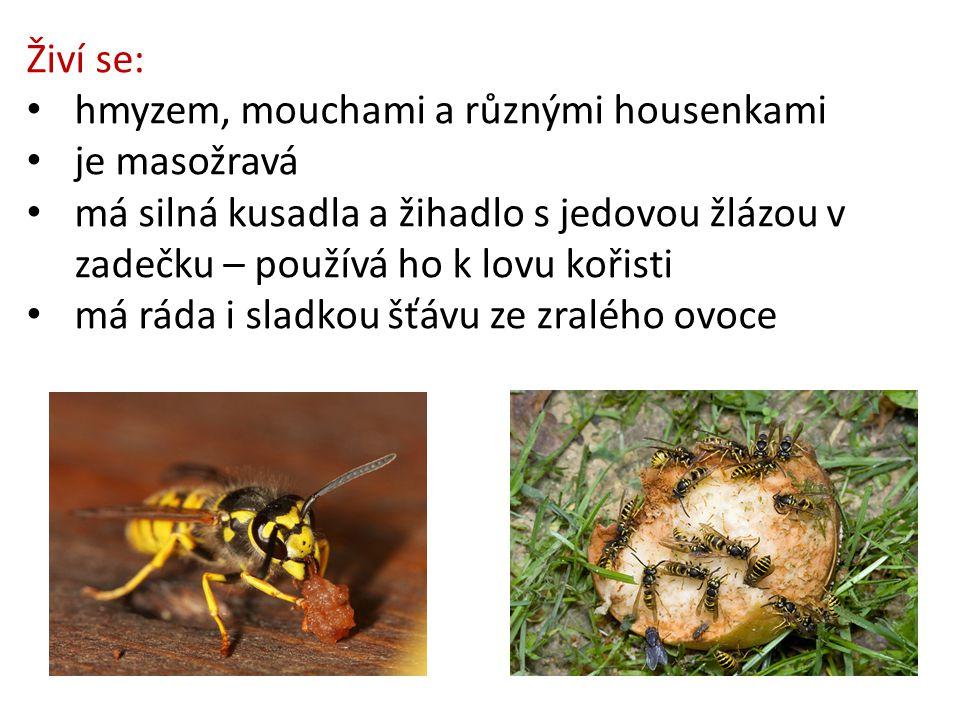 Živí se: hmyzem, mouchami a různými housenkami je masožravá má silná kusadla a žihadlo s jedovou žlázou v zadečku – používá ho k lovu kořisti má ráda i sladkou šťávu ze zralého ovoce