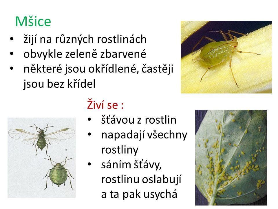Mšice žijí na různých rostlinách obvykle zeleně zbarvené některé jsou okřídlené, častěji jsou bez křídel Živí se : šťávou z rostlin napadají všechny rostliny sáním šťávy, rostlinu oslabují a ta pak usychá