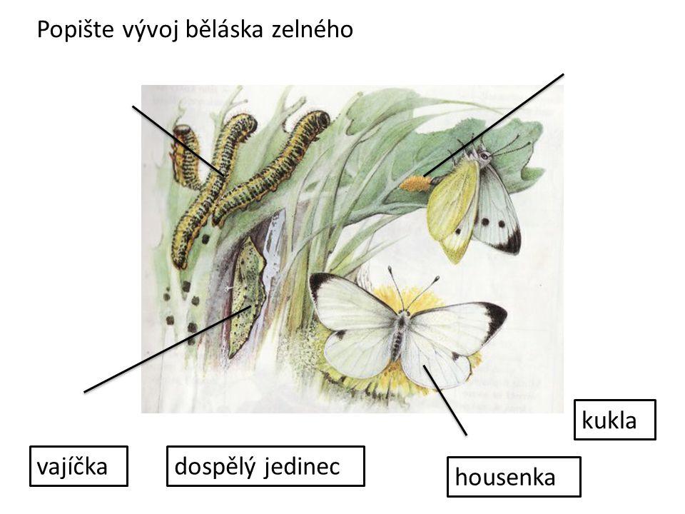 Popište vývoj běláska zelného vajíčka housenka kukla dospělý jedinec
