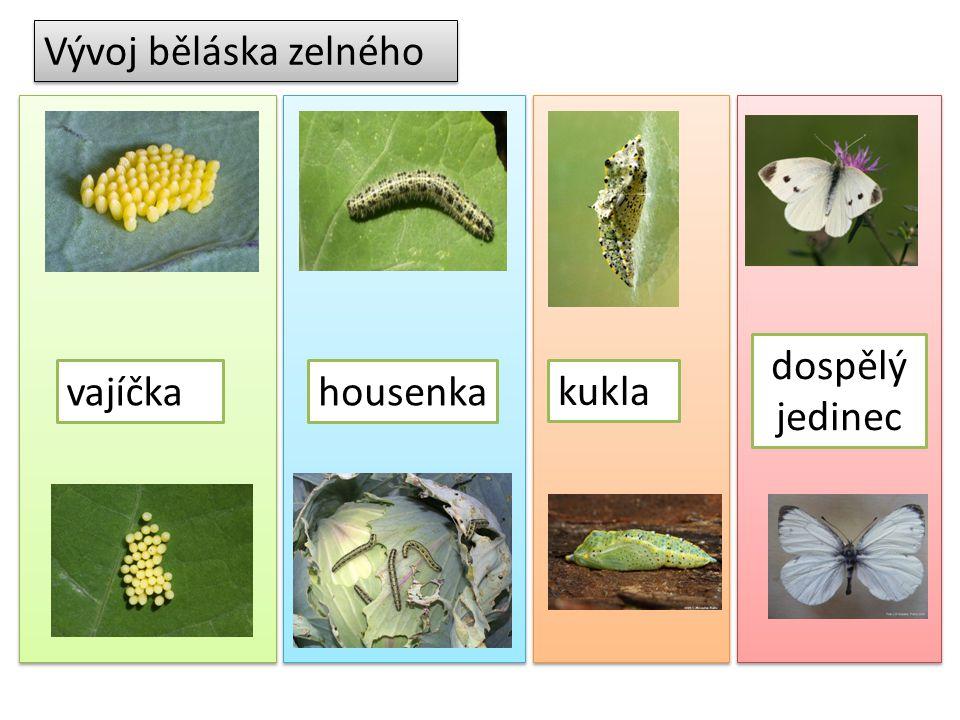 Vývoj běláska zelného housenka kukla dospělý jedinec vajíčka